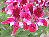 Pelargonium 'New Gypsy'