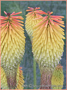 Kniphofia 'Towers of Gold'