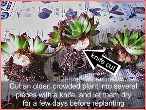 propagating Jovibarba by cutting