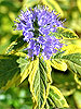 Caryopteris, commonly known as bluebeard