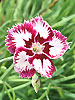 Dianthus 'Queen of Sheba'
