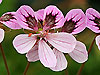 Erodium 'Pickering Pink'