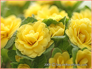 Primula 'Butter Yellow'