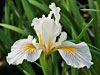 Iris pacifica 'Donna Bugbee'