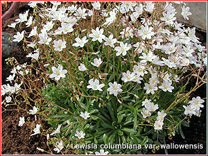 Lewisia columbiana var. wallowensis