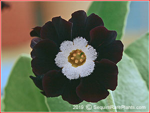 Primula 'Black Star'