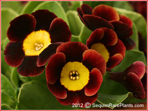 Primula 'Brown Bess'