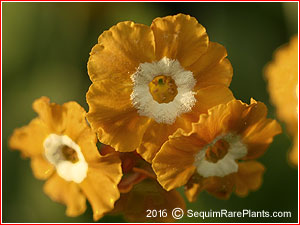 Primula 'Flaxen Honey'