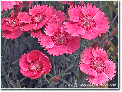 Dianthus 'Whatfield Ruby'