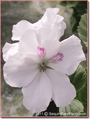 Pelargonium 'Mary'