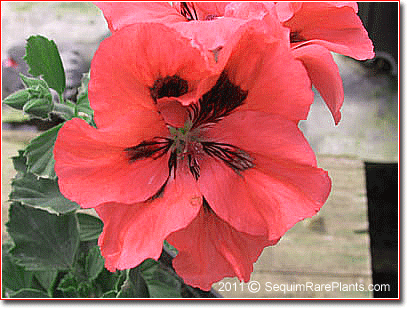 Pelargonium 'Salmon Splendor'