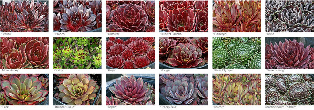 Sempervivum - hens and chicks