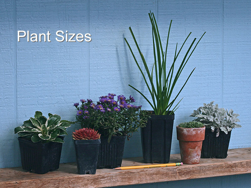 Our plants are grown in the sizes of pots illustrated in this picture, although a few of the plants we offer are sold as husky, bare-root divisions.